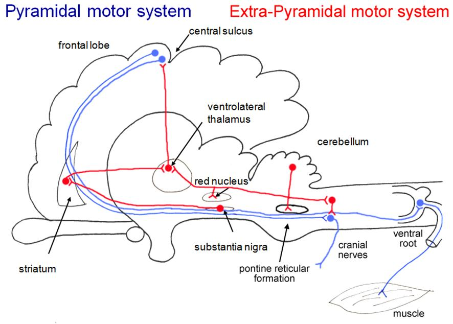 Opinions On Extrapyramidal System
